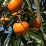 Oriental Persimmon: For the Specialty Fruit Market