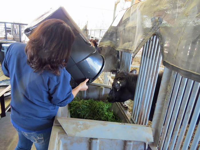 Figure 2. Hand feeding grenchopped winter annuals in the Feed Efficiency Facility at NFREC Beef Unit.