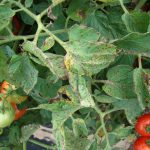Integrated Management of Tomato Bacterial Spot Using Bio-control Agents and Conventional Bactericides