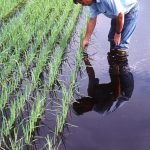Rice Production in Florida – a Minor, yet Uniquely Valuable Crop