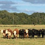 Florida Heifer Development Program Hosts Workshop January 6