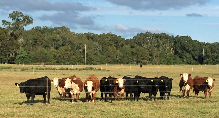 Heifers from the 2016 UF/IFAS Florida Heifer Development Program at the NFREC-Marianna. Photo Credit: K. Waters