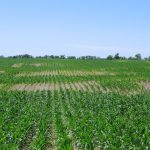 Is it Cost-effective to Apply Nematicides to Field Corn?