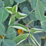 Managing Dicamba Drift when using New Dicamba Resistant Cotton Varieties