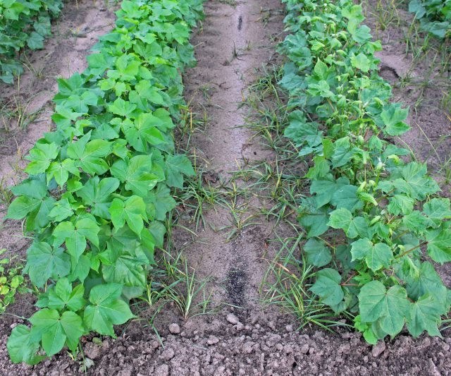 EPA Registrations for Dicamba and Chlorpyrifos Use in Row Crops