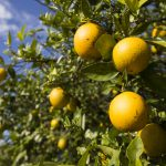 Historically Low Florida Citrus Production Forecast