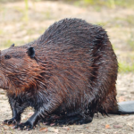 Beavers – Engineering Marvel or Farmer's Frustration