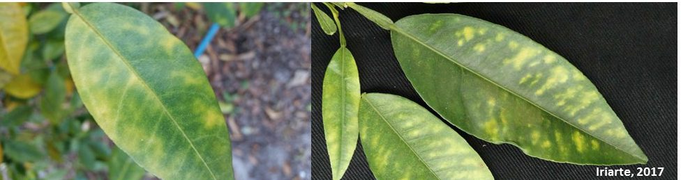 Disease Alert: Citrus Greening and Asian Citrus Psyllids found in the Panhandle ……..