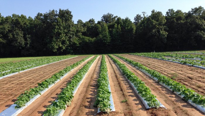 Start Preparing Now for Whiteflies this Fall in Vegetable Crops