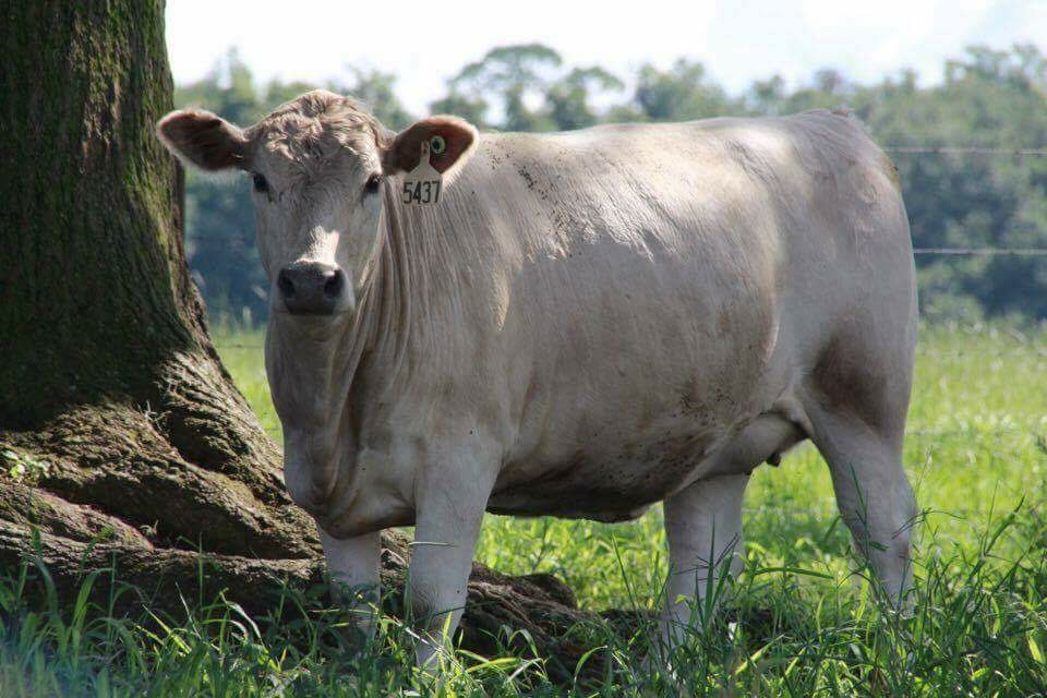 Friday Feature White Angus Developed At The University Of