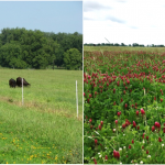 Ecosystem Services provided by Grass-Legume Pastures