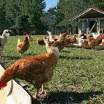 What are the Requirements to Sell Eggs and Dressed Poultry from Florida Small Farms?