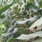 Corn Disease Management: When to Apply a Fungicide?