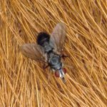 Cattle Fly Control Tips