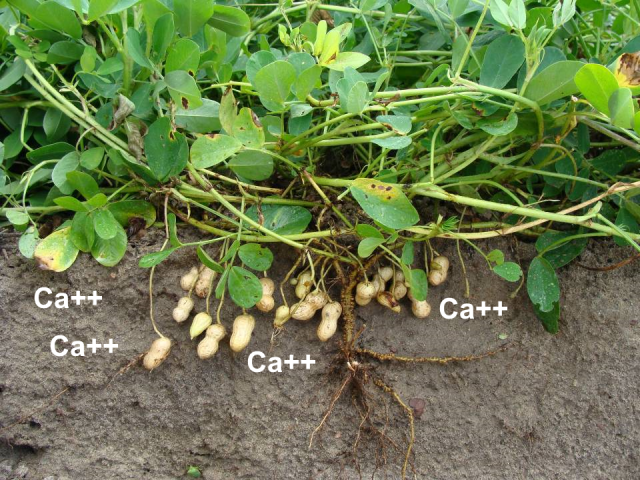 Rain Keeping You from Applying Gypsum to Your Peanuts this Year?