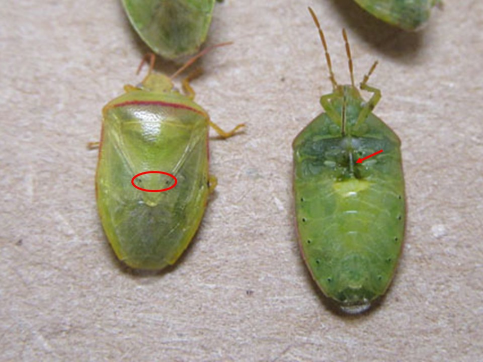 Scout Soybeans for Kudzu Bugs and Redbanded Stink Bugs
