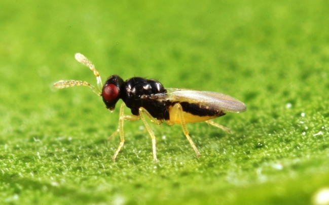 A Tiny Wasp to Fight the Asian Citrus Psyllid