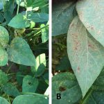 Soybean Rust Detected in Jackson County