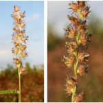 Weed of the Week: Southern Sandbur