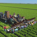 Friday Feature:  Large Scale Lettuce Production on Muck Soil near Belle Glade