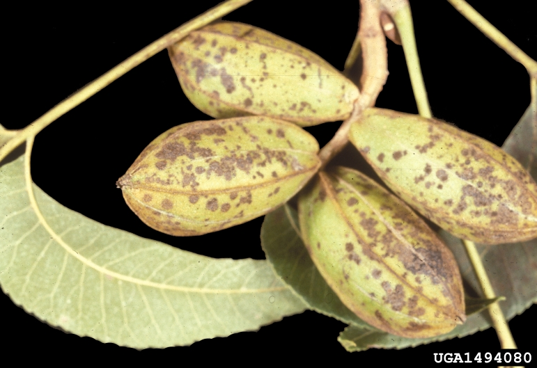 Battling Scab in Panhandle Pecan Trees