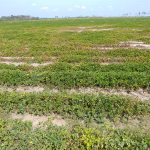 Why is Nematode Damage Patchy in Crop Fields? How Does this Affect Management Decisions?