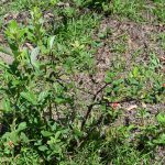 Fall Herbicide Applications are Best for Blackberry Control in Pastures