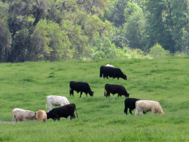 Walton County Beef Cattle Seminar – September 21st       ………