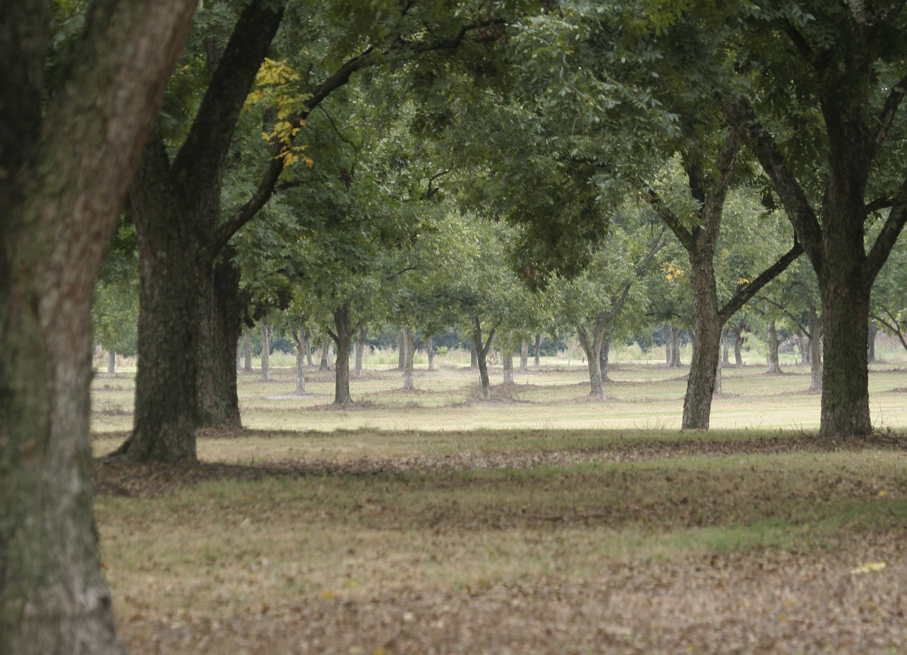 Pecan Orchard Establishment FAQs