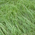 UF/IFAS Researchers are Studying Endophytes in Florida Pasture Grasses