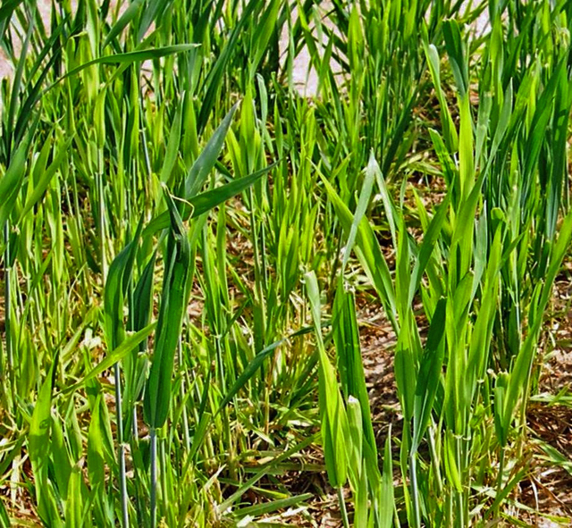 Winter Pastures Looking Yellow?  It Could be a Sulfur Deficiency