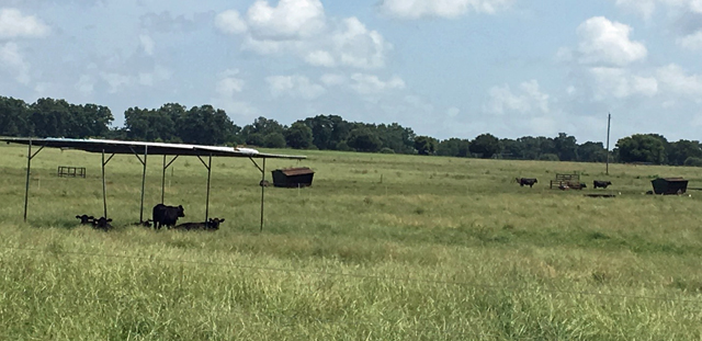 The Impact of Shade on Cattle Performance in the Florida Panhandle