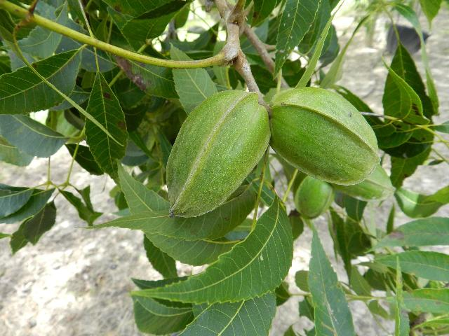 Update on Pecan Cultivar Evaluation Trial in North Florida