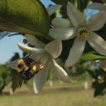 Satsuma blossom