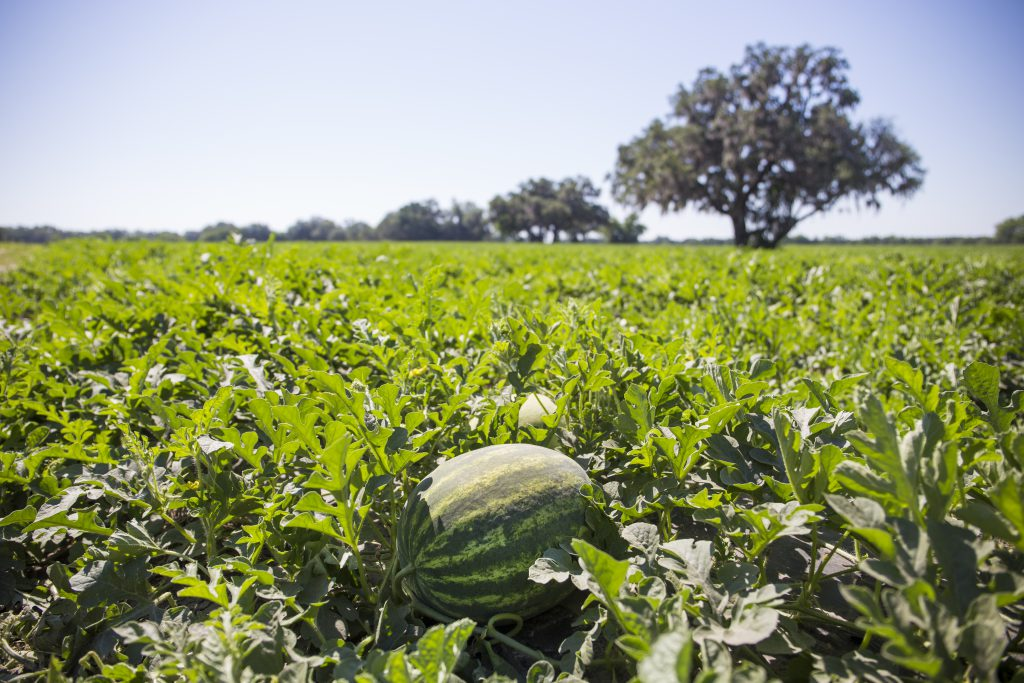 A watermelon sits among leaves in a watermelon field. Photo taken on 05-10-17.