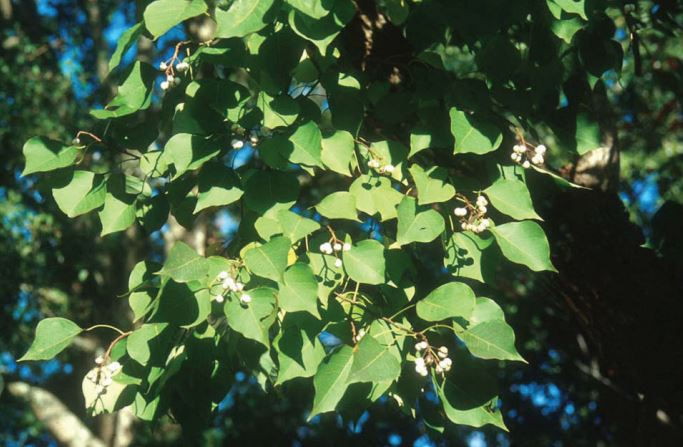 Weed of the Week: Chinese Tallow