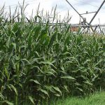 UGA Corn Short Course – February 6