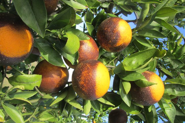 Insecticide Applications Can Inadvertently Cause Citrus Mite Outbreaks