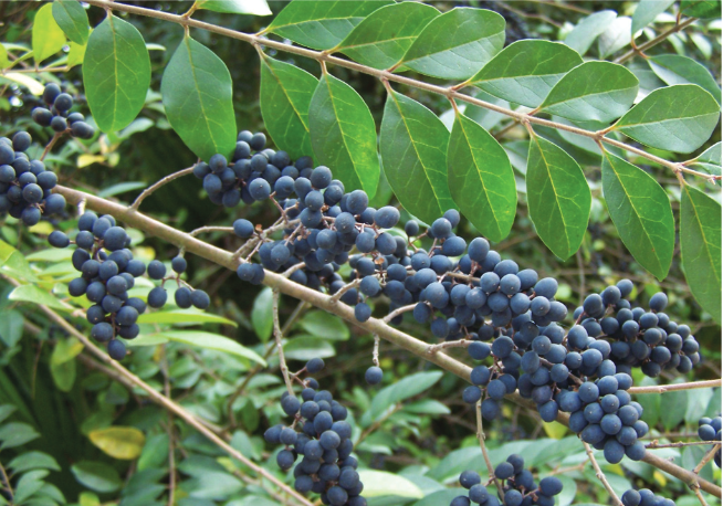 Featured Video: Chemical Control of Chinese Privet