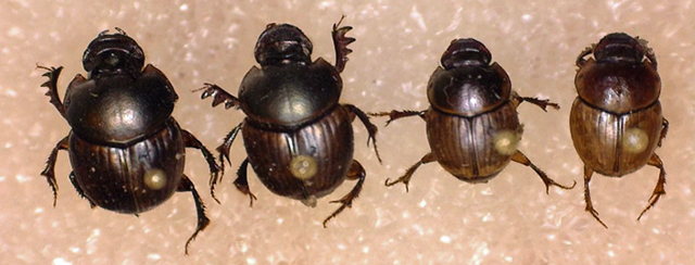 Managing Dung Beetles to Enhance Cattle Production