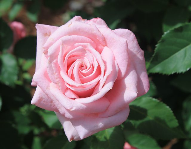 Alternative Rose Options for Florida Nurseries