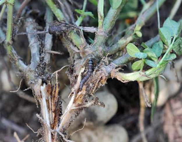 Lesser Cornstalk Borer Damage Reported in Florida and Georgia Peanut Fields
