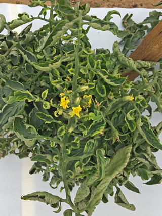 Cautious Optimism About Whitefly Pressure on Fall Vegetables this Year