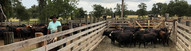 UF Research Study Confirms that Calm, Cool Cattle are More Productive
