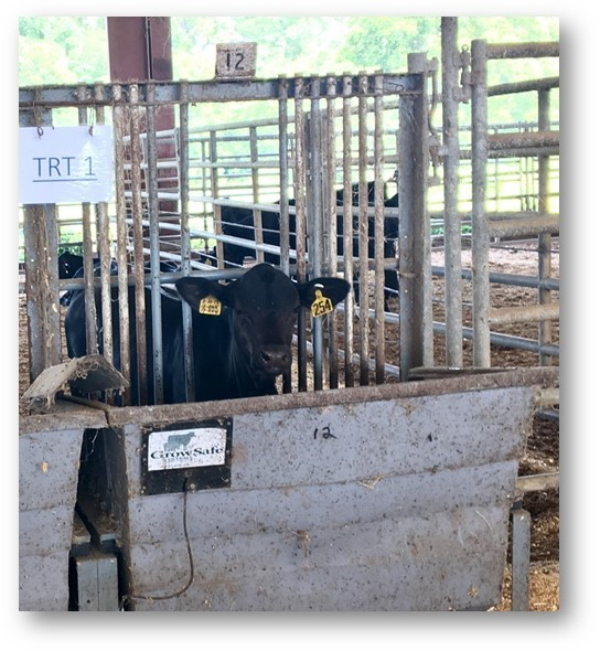 Olive Oil Extracts May Reduce Stress in Weaned Calves