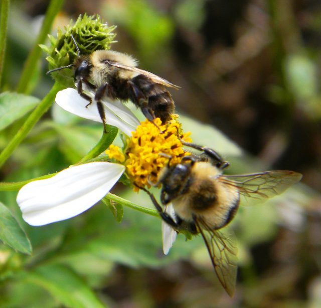 Bumble bees busy at work on our native flowers. Photo by Travis MacClendon. Calhoun County Florida Wasps and Flies