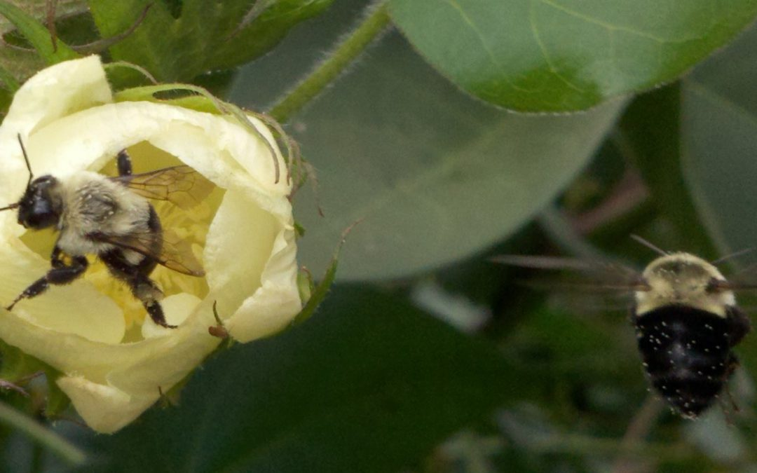 The Bumble Bee – One of Florida's Vital Pollinators