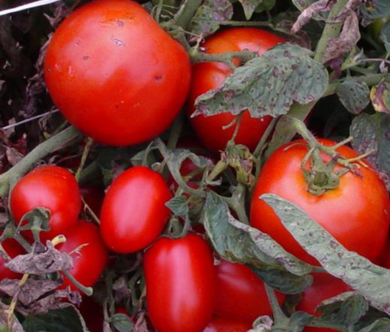 New North Carolina Tomato Varieties Offer Disease Resistance and Better Flavor
