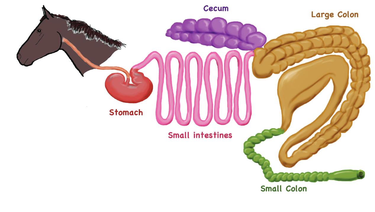 Equine Digestive Anatomy | www.topsimages.com