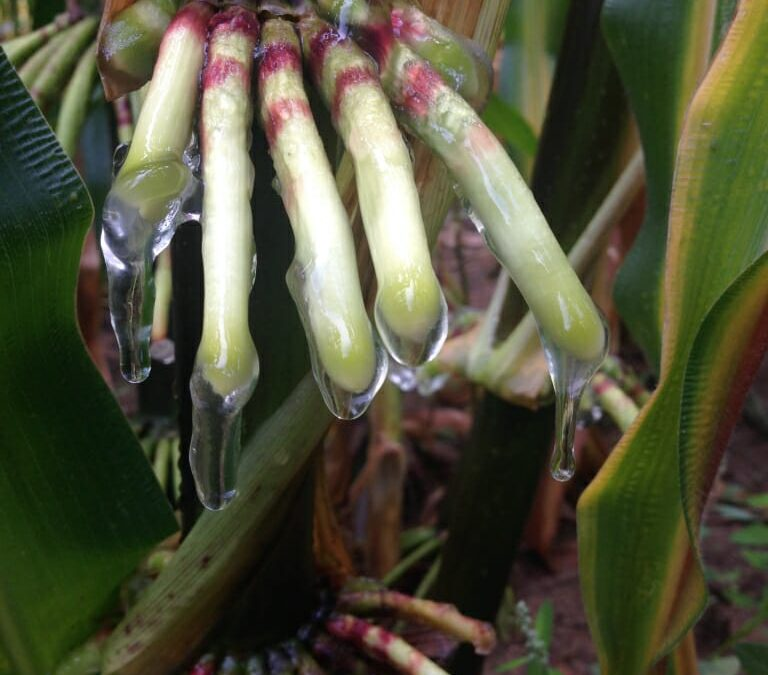 Friday Feature:  Corn that Acquires Its Own Nitrogen